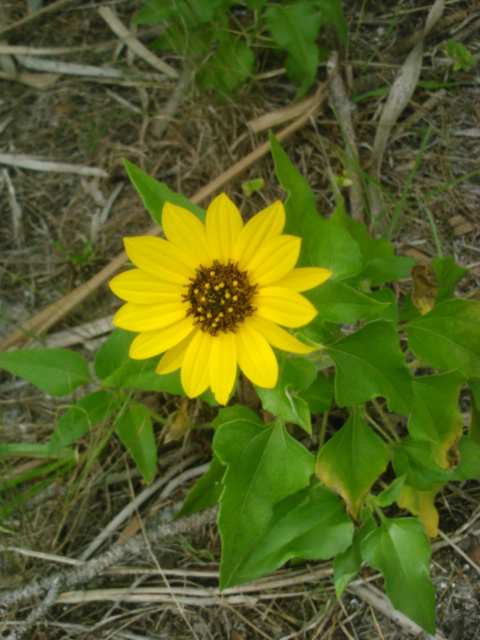 Yellow Beach Flower <3